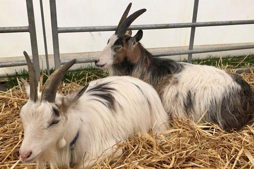 Pygmy Goat Club