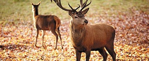 Stag and Doe Deer