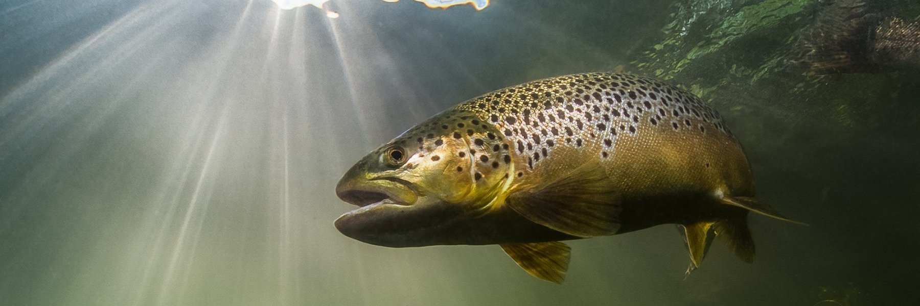 Salmon Trout Conservation